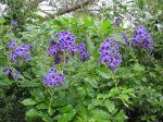 duranta purple flowers San Antonio Zoo Kronkosky Tiny Tot Nature Spot
