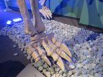 Omeisaurus skeleton foot in Dinosaurs Unearthed at Witte Museum in San Antonio Texas