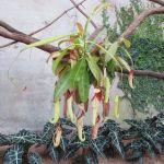 Tropical pitcher plant nepenthes Savage Gardens exhibit carnivorous plants San Antonio Botanical Garden Texas