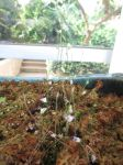 Bladderwort - Utricularia plant at Savage Gardens carnivorous plants San Antonio Botanical Garden   San Antonio Charter Moms