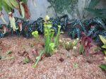 Bog garden at Savage Gardens carnivorous plants San Antonio Botanical Garden   San Antonio Charter Moms