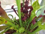 Trumpet pitcher plant at Savage Gardens carnivorous plants San Antonio Botanical Garden   San Antonio Charter Moms