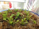 Venus flytrap at Savage Gardens carnivorous plants San Antonio Botanical Garden   San Antonio Charter Moms