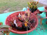 San Antonio Botanical Garden BOOtanica! Fall Festival 2013 carnivorous plants in a dish | San Antonio Charter Moms