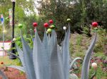 Agave - Holidays in Bloom at the San Antonio Botanical Garden | San Antonio Charter Moms