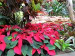 Poinsettias in the conservatory - Holidays in Bloom at the San Antonio Botanical Garden | San Antonio Charter Moms