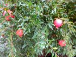 Pomegranate tree - Holidays in Bloom at the San Antonio Botanical Garden | San Antonio Charter Moms